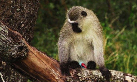 AfricaResized/019_Vervet_Monkey.jpg