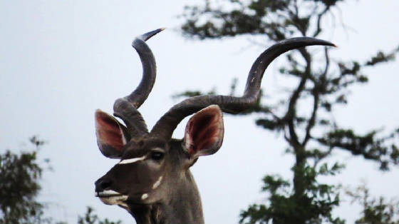 AfricaResized/023_Kudu.jpg