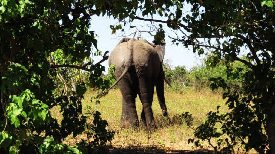 AfricaResized/038_Elephant_Backside.jpg