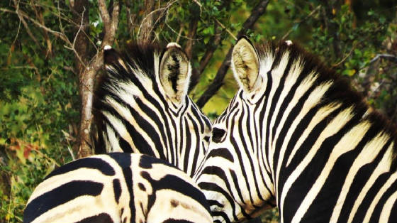 AfricaResized/045_Zebra_Pair.jpg